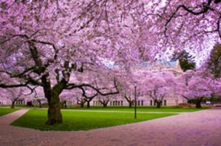 Сезонът на японските вишни
