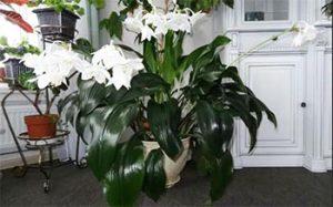 Еухарис - Амазонска лилия, бял
