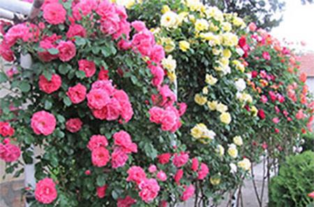 Декоративни рози - Флоров.