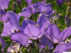 Многогодишни цветя и декоративни треви