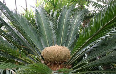 Ботаническа градина на БАН, цикас