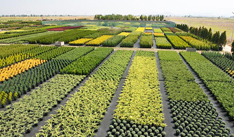 Декоративни вечнозелени растения - Булланд Трейд