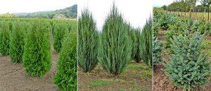 Иглолистни дървета от Булгарден