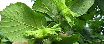 лешников посадъчен материал