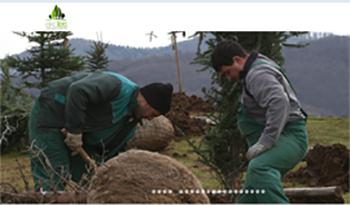 Пресаждане на едроразмерни дървета