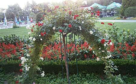 семейство Димови - декоративни рози