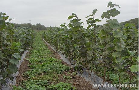 Овощен разсадник - лешник, Райчева