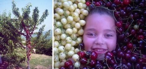 голямо сортово и видово разнообразие на КАЛЕМИ И ПОДЛОЖКИ за овощни дръвчета
