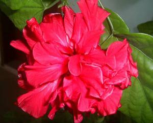 Китайска роза – Анелия Василева