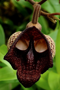 Орхидея Дарт Вейдър /Междузвезни войни/ (Aristolochia Salvadorensis)