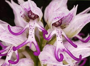 Орхидея Гол Мъж (Orchis Italica)