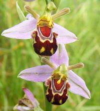 Орхидея Смееща се Пчела