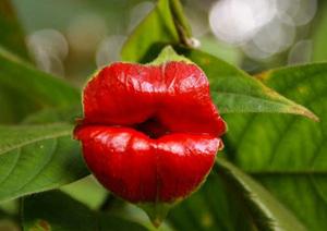 Орхидея устни на куртизантка