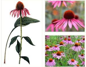 Ехинацеята е светлолюбиво растение