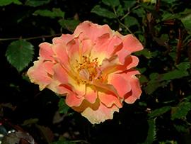 Роза Pur Caprice