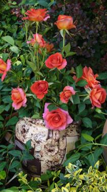 Декоративните рози зелено бг