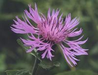 Метличина (Centaurea)