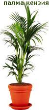 Палма кензия
