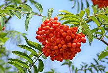 Офика плодове