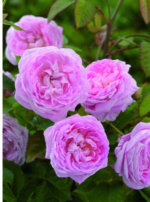 Рози Queen Anne
