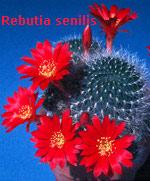 Рвбуция - Rebutia sensilis