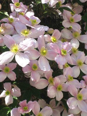 Розови клематиси