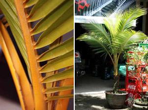 Кокосови палми листа