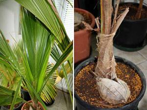 Кокосова палма в саксия