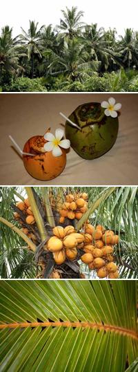 Кокосови палми