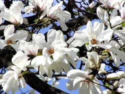 Магнолия с бели цветове