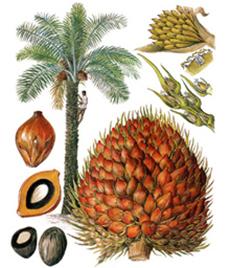 Маслена палма, плодове