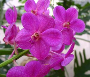 Ароматна орхидея