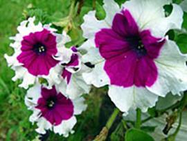 Градински петунии