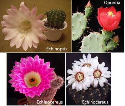 Популярни видове кактуси