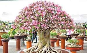 Пустинна роза произхожда от Южна Африка
