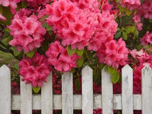 Рододендрони на ограда