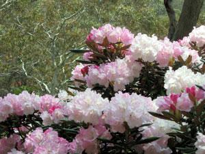 Розови рододендрони