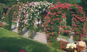 Катерещи влачещи рози