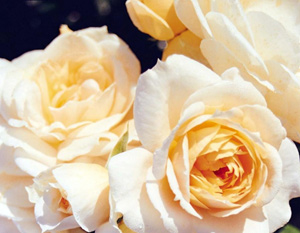 роза Champagne Moment