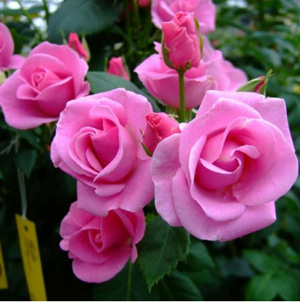 Роза Lucky