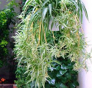 Хлорофитум ампелно растение