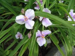Традесканция градинско цвете