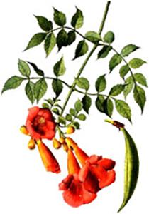 Текома цветове