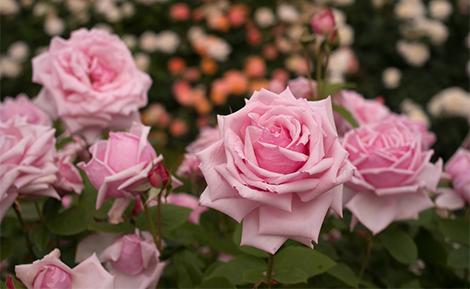 Розите Чайно-хибридни