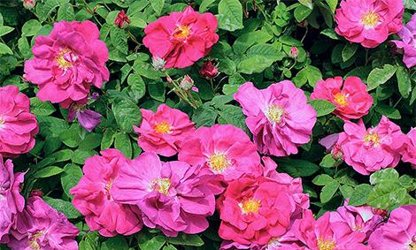Галска роза
