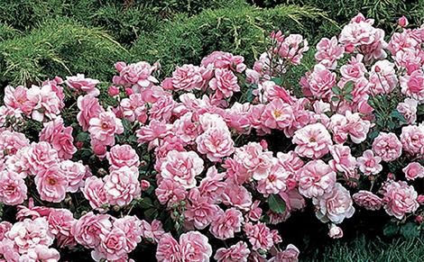 Полиантови рози