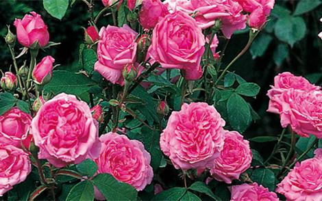 Портландски рози