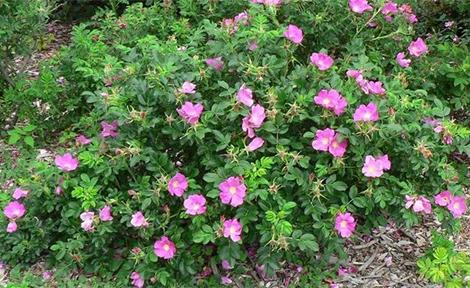 Японска роза