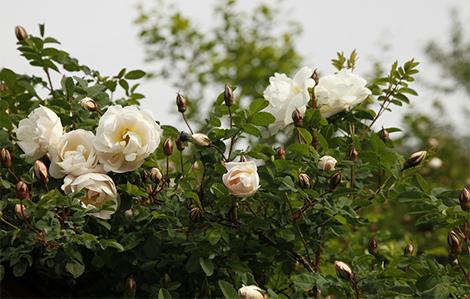 розите - rosa pimpinellifolia