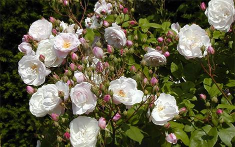 Ноазетови рози